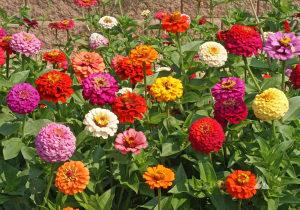 Sjeme cvijeća Lijepi Gliša