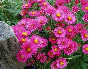 Sjeme cvijeća Lijepa Kata u rozoj boji
