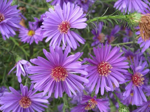 Sjeme cvijeća Lijepa Kata u ljubičastoj boji