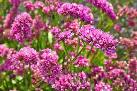 Sjeme Cvijeća Štatica mix boja