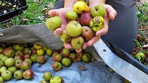 Jabuka za rakiju ili sirće