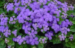 Sjeme cvijeta cvijeća Ageratum