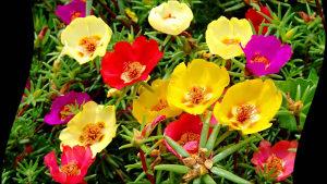 Sjeme cvijeća Prkos mix boja