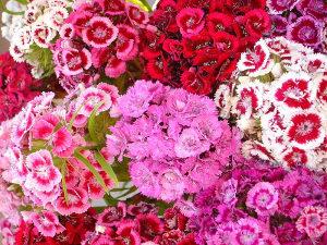 Sjeme cvijeća Karanfil