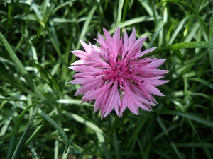 Sjeme cvijeta cvijeće Različak u rozoj boji