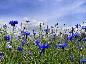 Sjeme cvijeća Različak u plavoj boji