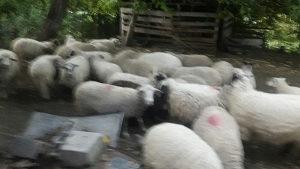 Ovce sjajne sa janjadima i jalove