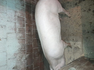 Tovna svinja muška