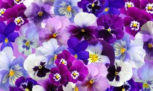 Sjeme cvijeća Maćuhica mix boja