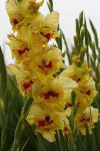 Sjeme Gladiola žuta