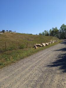 Ovce sjanjne