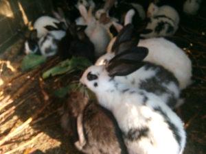 80 zečeva
