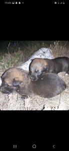 Psi belgijski ovcar