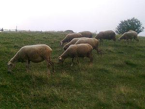 Dvije ovce za drzanje