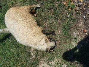 Ovca ovca
