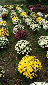 Krizantema Cvijece