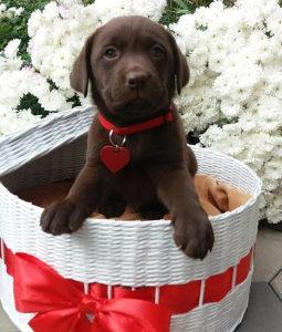 Štenci čokoladnog labradora