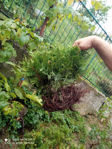 Tuje su ukrasne biljke broj 0644495925