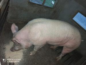 Nerast svinje