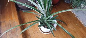 Biljka ananas