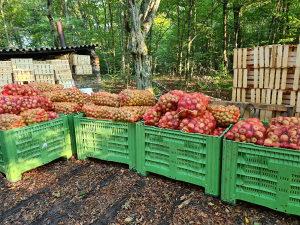 Jabuka za industriju jabuke za rakiju