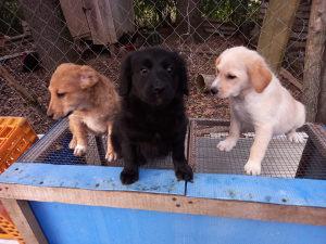 Stenadi,psi Retriver/Labrador
